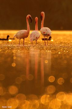 """theperfectworldwelcome: """" earth-song: """" """"lesser flamingo"""" by Tejas Soni """" Beautiful !!! \O/ """""""