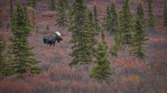 National Geographic Your Shot Alaskan Brown Bear, National Geographic Photos, Your Shot, Bald Eagle, Amazing Photography, Animals, Animales, Animaux, Animal