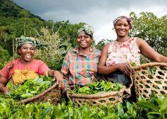 Tea farmers in Uganda By Randy Plett