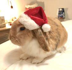 #bunny #bunnies #cute #adorable #animal #pet #rabbit #beanie #winter #LOVE #ilovebunnies #maci #christmasbunny #santa #hat #christmas