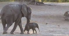 When mama elephant says bath time is over, her little baby throws quite the fit... Can you blame him?