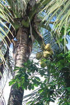 Coconut tree-Guyana