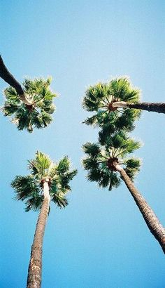 green palms against blue sky