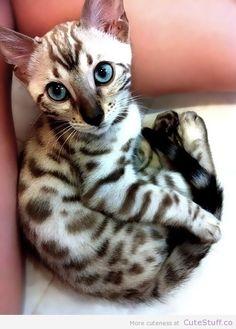 Bengal Kitten: Those blue eyes!