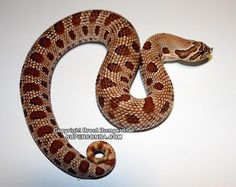 Red Phase Anaconda Hognose Snake
