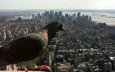 American Pigeon, New York NY. ~ Photo by...Renat.o