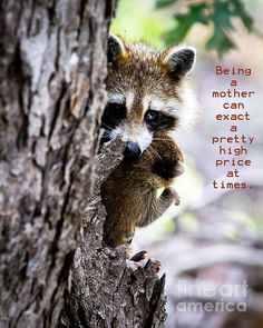 Mother Raccoon and Kit - Rick Grisolano Photography LLC
