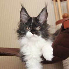 Want to know how to keep a Maine Coon Growth Chart and are new to keeping a cat growth chart or size chart then read on to learn how to keep one Maine Coon Kittens, Baby Kittens, Cute Cats And Kittens, Cool Cats, Kitty Cats, Beautiful Kittens, Animals Beautiful, Unique Animals, Beautiful Creatures