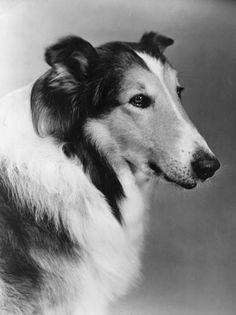 """Lassie"" is an American television series that follows the adventures of a female collie named Lassie and her companions, human and animal. The show ran from September 12, 1954, to March 24, 1973.  Initially filmed in black and white, the show transitioned to color in 1965. For most of the series, Lassie belongs to a boy named Timmy Martin, played by Jon Provost, and his adoptive parents, played by June Lockhart and Hugh Reilly."