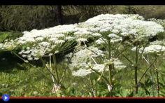 Una pianta che uccide la fotosintesi umana Chi ha detto che la morte e la sofferenza hanno sempre un aspetto orribile, offrendoci l'opportunità di sfuggire sulla base del nostro istinto innato? Talvolta, ciò che è bello nasconde un terribile  #piante #natura #ambiente #scienza