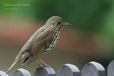 Drozd zpěvný - ( Turdus philomelos Bird, Animals, Animales, Animaux, Animais, Birds, Animal