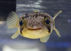 Deadly long-spine porcupinefish..looks like he's smiling!