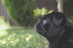 5_Things_I_Never_Thought_Id_Do_as_a_Pug_Owner_The_Pug_Diary_0002.jpg (800×534)