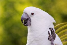 Learn More About the Umbrella Cockatoo