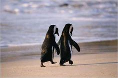 Penguins #love #animals