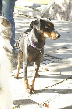 #Byhund #1 Sara, 1,5 år pincher