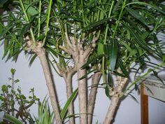 Itt a leander metszésének és fiatalításának ideje - Így csináld! | Balkonada Plants, Gardening, Decor, Decoration, Lawn And Garden, Plant, Decorating, Planets, Horticulture