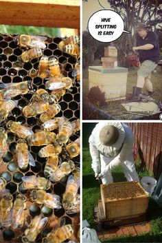 This article explains how we do hive splitting with great success. This disrupts the varroa mites and also increases your colonies. Honey Bee Hives, Honey Bees, How To Split, Beekeeping For Beginners, Bee Swarm, Buzz Bee, Raising Bees, Bee House, Beneficial Insects