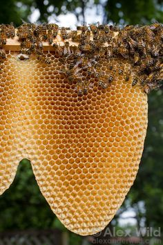 Honey bees naturally build their combs in a characteristic U-shape. Honey bees naturally build their Honey Bee Hives, Honey Bees, Raw Honey, Bee Rocks, Bee Swarm, Buzz Bee, Wild Photography, Travel Photography, I Love Bees
