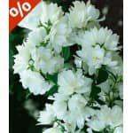 Sommer-Flieder 'Papillion Tricolor', 1 Pflanze - BALDUR-Garten GmbH