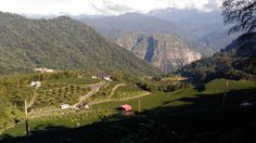 Tea Plantations | Ali Mountain | Taiwan