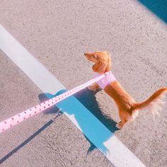 ❤️🍓❤️🍓❤️ #pet #dog #小型犬 #家族 #愛犬 #京都生まれ #1月11日生まれ #1歳 #カニンヘンダックス #ダックスフンド #ロングコート #gold #女の子 #雌 #胴長部 #愛犬家 #天使 #親バカ #セレブ犬 #なんちゃって #お散歩 #お散歩日和