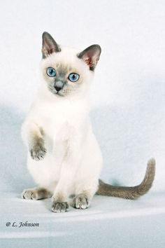 precious darling tonkinese ~ Gorgeous eyes on a pretty face!
