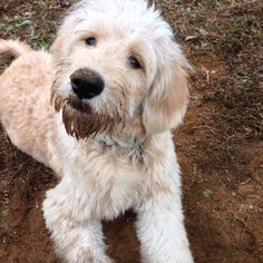 dirty goldendoodle