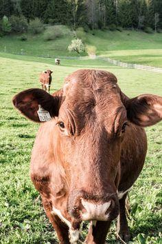 Biolandwirtschaft am Gralhof BIO HOTEL Kühe Wald Naturpark Weissensee Cow, Animals, Agriculture, Woodland Forest, Pictures, Animales, Animaux, Cattle, Animal