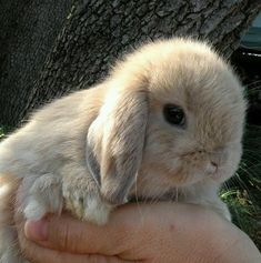 Holland Lop Babies For Sale! Cute Little Animals, Cute Funny Animals, Cute Dogs, Fluffy Cows, Fluffy Animals, Cute Baby Bunnies, Cute Babies, Cute Bunny Pictures, Cute Creatures