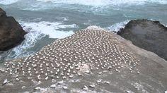 #gannet colony #muriwaibeach #nz #newzealand #amazing