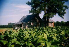 Nash County, North Carolina. Tobacco crop