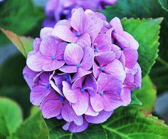 Amazing Flowers, Purple Flowers, Beautiful Flowers, Hydrangea Flower, My Flower, Flower Aesthetic, Floral Illustrations, Flower Photos, Pansies