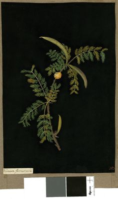 Mimosa Farnesiana (Polygamia Monoccia), from an album (Vol.VI, 85). 1777 Collage of coloured papers, with bodycolour and watercolour, on black ink background, Mary Delany (1700-1788)
