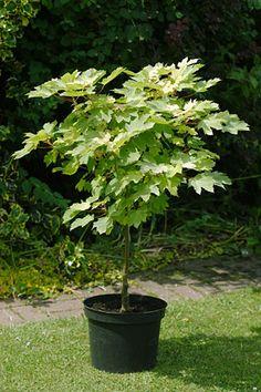 Growing trees in pots - advice & list of suitable varieties