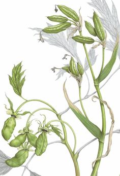 Ann Swan: botanical artist and teacher, buy botanical art prints online Botanical Art, Botanical Illustration, Art Prints Online, Seed Pods, Natural Forms, Watercolour Painting, Adult Coloring, Swan, Peonies