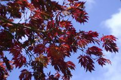 Maples and many other plants are very susceptible to Verticillium wilt. Here's advice from Oregon State University's Extension Service master gardener.