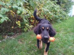 dog plays   oz_design  young hovawart playing Plays, Stock Photos, Dogs, Pictures, Animals, Image, Design, Games, Photos