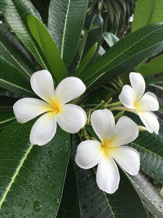 Plumeria Care, Plumeria Flowers, Tropical Flowers, Tropical Garden, Exotic Flowers, Tropical Plants, Colorful Flowers, Beautiful Flowers, Beautiful Gardens