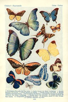1938 Butterfly Print PLATES 1417 1418 by VintageInclination, $11.50