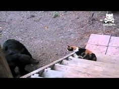 Fearless cat shows bear who's boss [keep the varmints like rats, mice and yes, BEARS at bay by having some cats around! ha!]