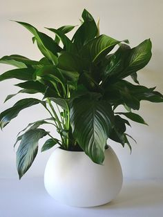 Peace Lily - supposed to be good for cleaning indoor air