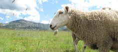 Montana Organic Lamb   Willow Spring Ranch