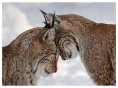 Fonds d'écran HD - Grands félins: http://wallpapic.be/animaux/grands-felins/wallpaper-32287