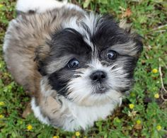 Revy the Shih Tzu Pictures 887151