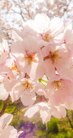 Sun kissed Cherry Blossoms ❣️