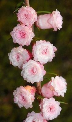 The 'Double Pink' form of the Common Heath (Epacris impressa)