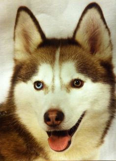 This is my fur baby, (no matter her age), she is my baby girl. This pic was a prof., studio photo solo of Seska, when she was 4yr.s old, (2011), and she was included in our family photos, Mar/Apr 2011. The photographer was so impressed & awed by her, she asked if she could do solos with Seska! She had some Intermediate Obedience done prior, (when she was less than 2yr.s old), and was wonderful following commands to do the photo shoot. ❤️