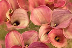 Calla lilies (Zantedeschia) 'Captain Romance' variety at New Covent Garden Flower Market - November 2013.  LOVE this one!