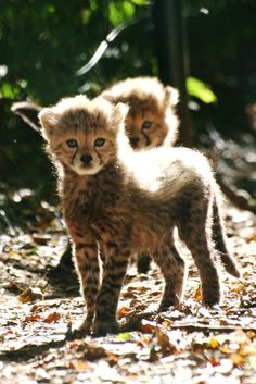 A baby Cheetah at Fota Wildlife Park